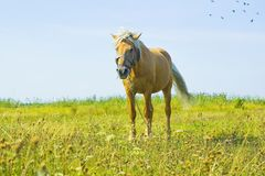 Light brown horse Palomino grazing on green meadow Royalty Free Stock Photography
