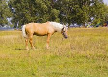Light brown horse with white mane on green meadow near lake. Light brown horse with white mane stands on meadow near lake. Palomino horse in field on summer warm Stock Photos
