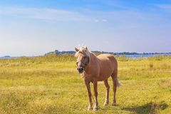 Light brown horse with white mane on green meadow near lake. Light brown horse with white mane stands on meadow near lake. Palomino horse in field on summer warm Royalty Free Stock Photography