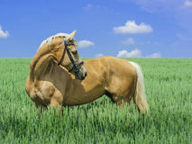 Light brown horse with a white mane and tail stands in a green field. Under a blue sky Stock Photography