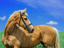 Light brown horse with a white mane and tail stands in a green field Stock Image