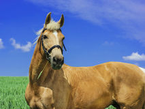 Light brown horse with a white mane and tail stands in a green field Royalty Free Stock Image