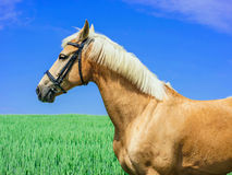 Light brown horse with a white mane and tail stands in a green field Royalty Free Stock Images
