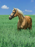Light brown horse with a white mane and tail stands in a green field Stock Images