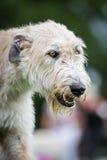 Light Brown Irish Wolfhound Stock Photography