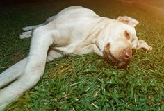 Light brown labrador on grass. Lay in lazy pose. Chill labrador dog Stock Photo