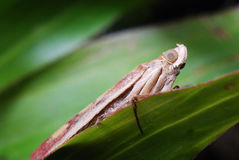 Light Brown Leaf Hopper Stock Photo