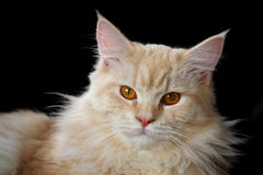Light brown Maine Coon cat. Portrait of light brown Maine Coon cat (American Longhair) against black background Stock Photos