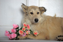 Light brown mongrel dog  with a bouquet of roses Royalty Free Stock Images