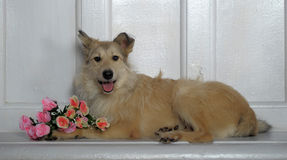 Light brown mongrel dog  with a bouquet of roses Stock Photo