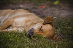 Light brown mongrel dog peacefully sleeping on the grass lawn park.  Royalty Free Stock Photos