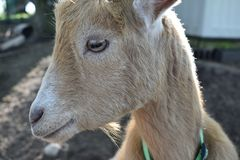 Light brown Nigerian Dwarf goat close up on a farm in Wisconsin. A light brown Nigerian Dwarf goat close up on a farm in rural Wisconsin. He is curious, cute and royalty free stock photography