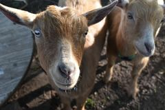 Light brown Nigerian Dwarf goats close up on a farm in Wisconsin stock photo