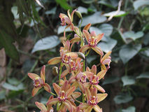 Light Brown Orchid (Hybrid Cymbidium). A cluster of Light Brown Orchid (Hybrid Cymbidium), Captured under the natural environment Stock Photography