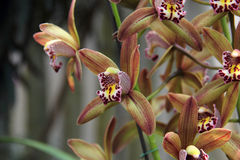 Light Brown Orchid (Hybrid Cymbidium). A cluster of Light Brown Orchid (Hybrid Cymbidium), Captured under the natural environment Stock Images