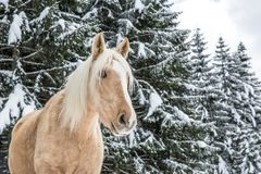 Light Brown Palomino Mare in Snowy Jura Pine Trees Forest in Win royalty free stock photo