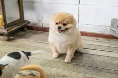 The light brown Pomeranian sit down Royalty Free Stock Images