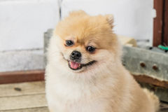 Light brown Pomeranian. With wood surface and white brick wall Royalty Free Stock Image