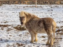 Light brown pony royalty free stock photos
