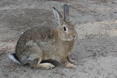 Light brown rabbit standing in a park. MARINA DI MASSA, ITALY - AUGUST 22 2015: light brown rabbit standing in a park Stock Photography