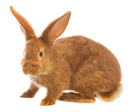 Light brown rabbit Stock Photography
