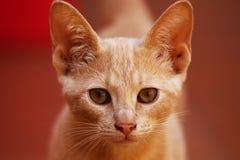 Light brown little cat stock photos
