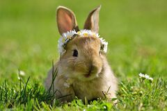 Free Light Brown, Sandy Little Bunny In Spring Green Grass With Daisyes, Daisy Coronet Wreath On Bunny Head, Spring And Easter Rabbit Royalty Free Stock Images - 174671509