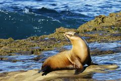 Light brown sea lion sitting on the wet seashore rocks with closed eyes and happy face in a bright sunny morning with deep blue wa. Ve on the background Royalty Free Stock Photos