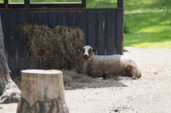 Light brown sheep. Light brown sheep laying on ground during a sunny summer day in the farm royalty free stock photo