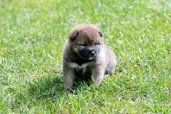 Light brown shiba inu puppy dog. On green grass Royalty Free Stock Photos
