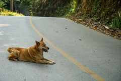 Light brown smiling local dog lying happily on grey asphalt road along green forest mountain. Chiangmai, Thailand Stock Photos