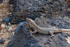 Light brown Sothern Tenerife lizard female on the lava rocks, Canary Islands, Tenerife, Spain - Image royalty free stock photo