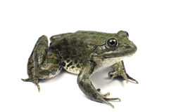 Light brown spotted marsh frog Stock Images