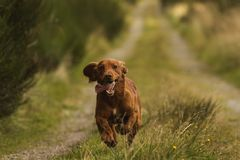 Light brown springer spaniel outside in the countryside royalty free stock image
