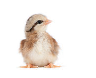 Light brown striped Easter chick Stock Photos