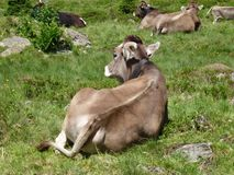 Light brown swiss cows Royalty Free Stock Image
