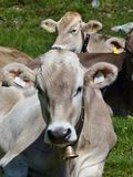 Light brown swiss cows Royalty Free Stock Photos
