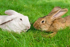Light brown and white rabbits Stock Photography