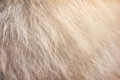 Free Light Brown With White Fluffy Pomeranian Dog Fur Patterns Texture For Background Stock Image - 148104121