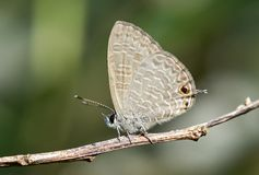 Light-brown Woodland Butterfly on Twig royalty free stock image