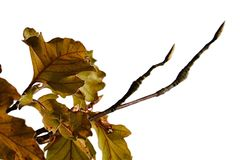 Light brown and yellow autumn leaves and new buds on end of branches during autumn season, white background. Natural sunshine Stock Image