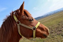 Light brown young horse head with yellow halter, blue sky background Royalty Free Stock Images