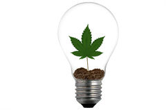 A light bulb and marijuana leaf plant in soil. A marijuana plant growing inside a light bulb Royalty Free Stock Images