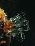 Light-bulb sea squirt stock photography