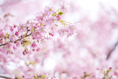 Light cherry blossoms Royalty Free Stock Photos