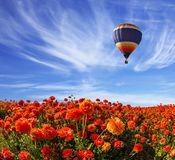 Light cirrus clouds. Portend a warm day. The multi-color balloon slowly flies over blossoming fields of garden buttercups. Concept of rural and extreme tourism stock images