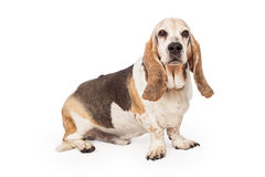 Light Color Basset Hound Dog Stock Photography
