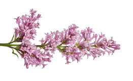 Light color isolated lilac floral branch Stock Photos