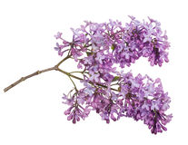 Light color lilac isolated inflorescence Stock Images
