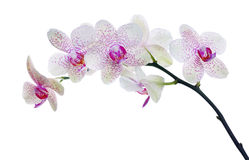 Light color orchid flower in pink spots isolated on white Royalty Free Stock Photo